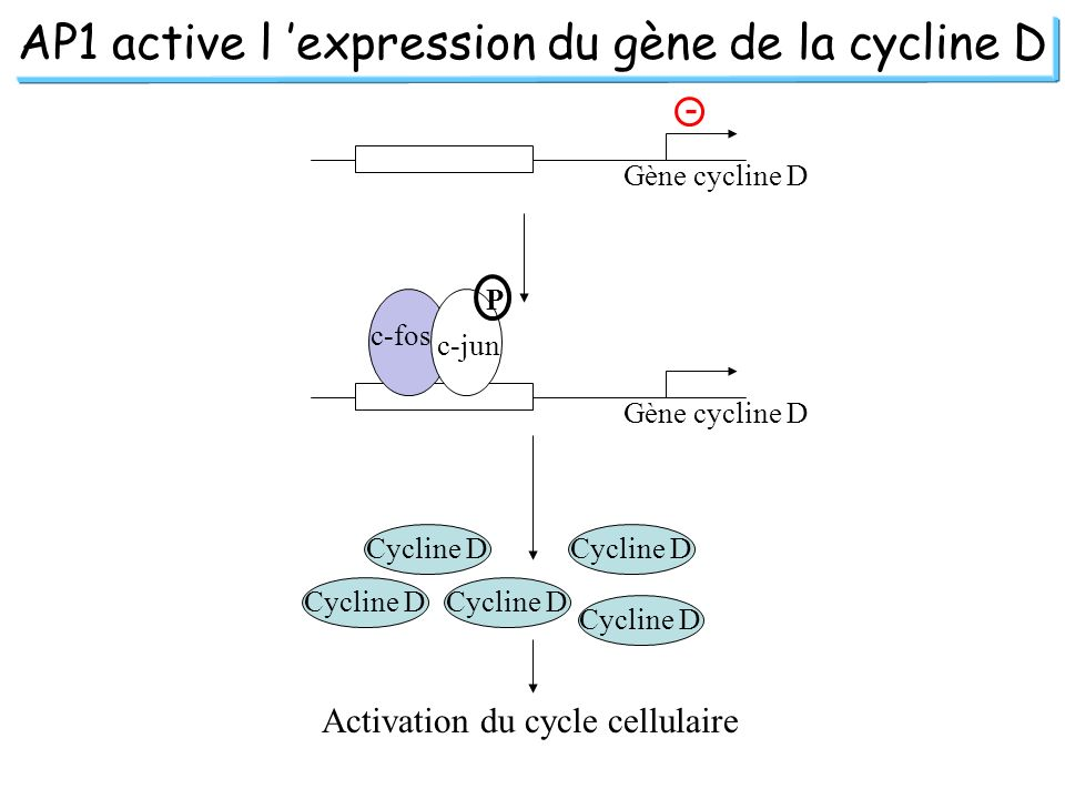 AP1 active l 'expression du gène de la cycline D