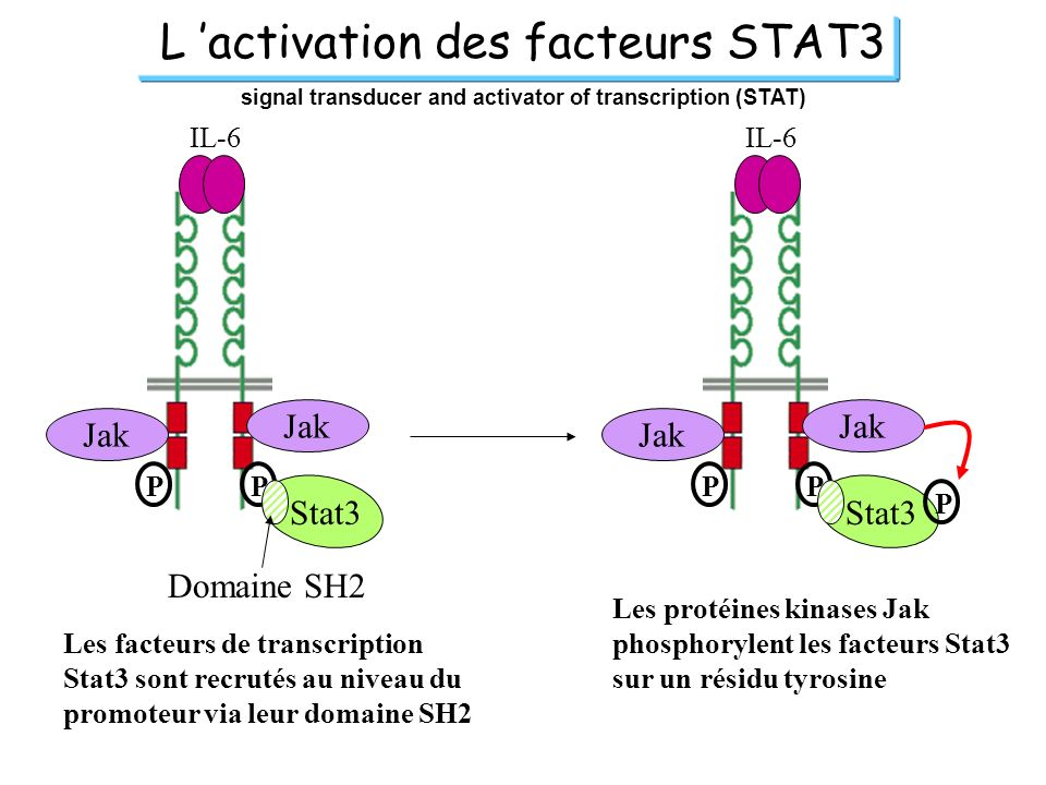 signal transducer and activator of transcription (STAT)