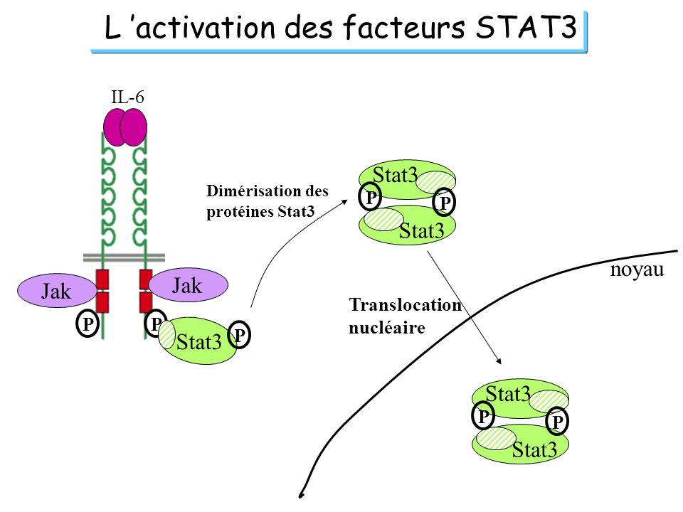 L 'activation des facteurs STAT3