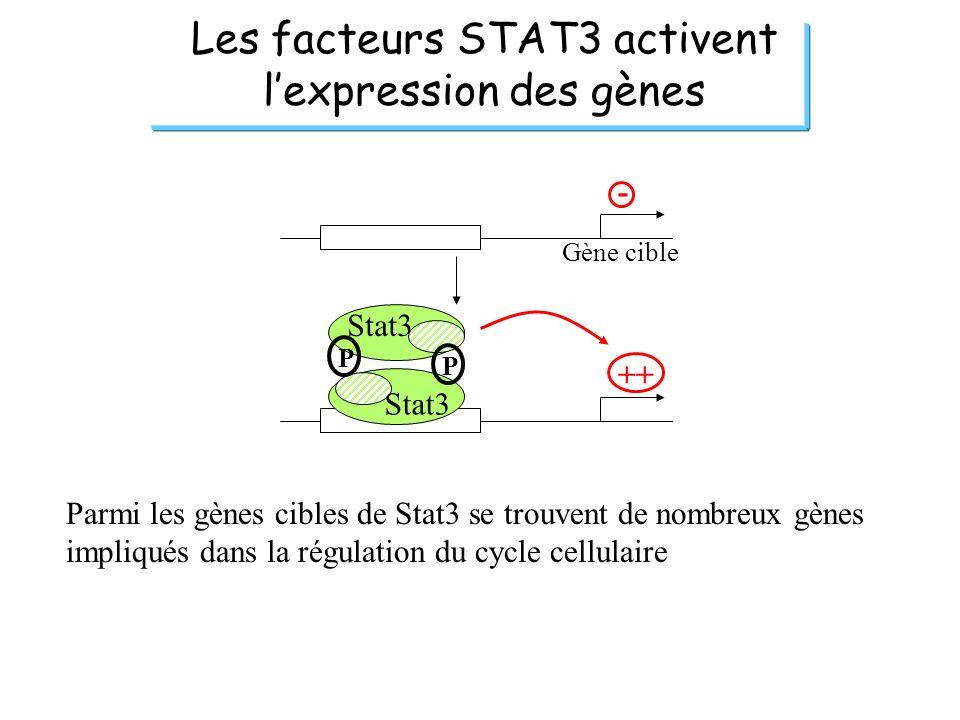 Les facteurs STAT3 activent l'expression des gènes