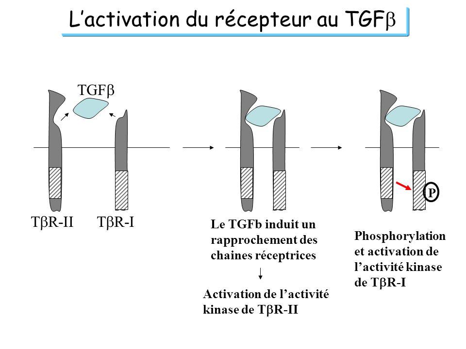 L'activation du récepteur au TGFb