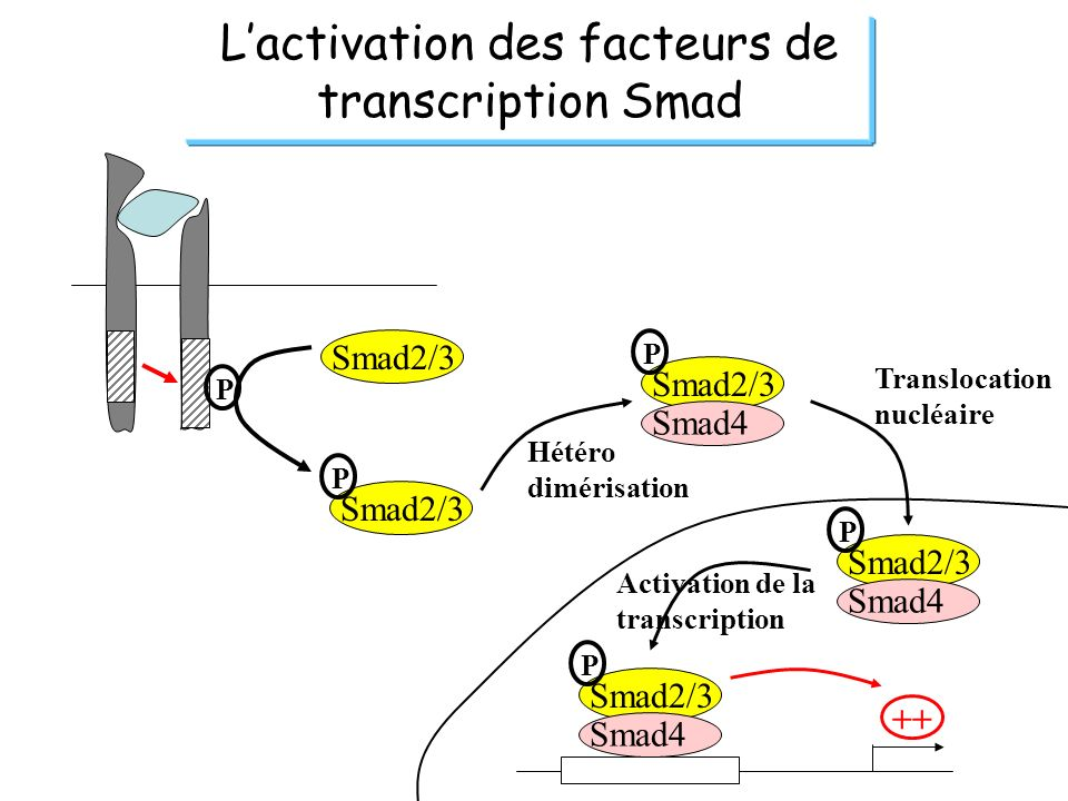 L'activation des facteurs de transcription Smad