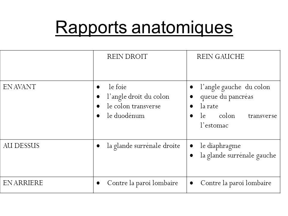 Rapports anatomiques REIN DROIT REIN GAUCHE EN AVANT le foie