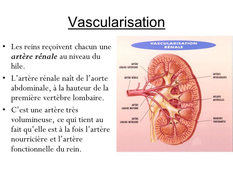 Vascularisation Les reins reçoivent chacun une artère rénale au niveau du hile.