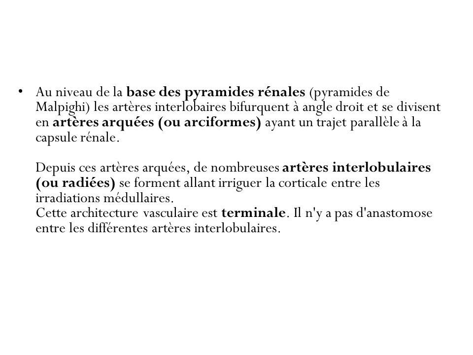 Au niveau de la base des pyramides rénales (pyramides de Malpighi) les artères interlobaires bifurquent à angle droit et se divisent en artères arquées (ou arciformes) ayant un trajet parallèle à la capsule rénale.