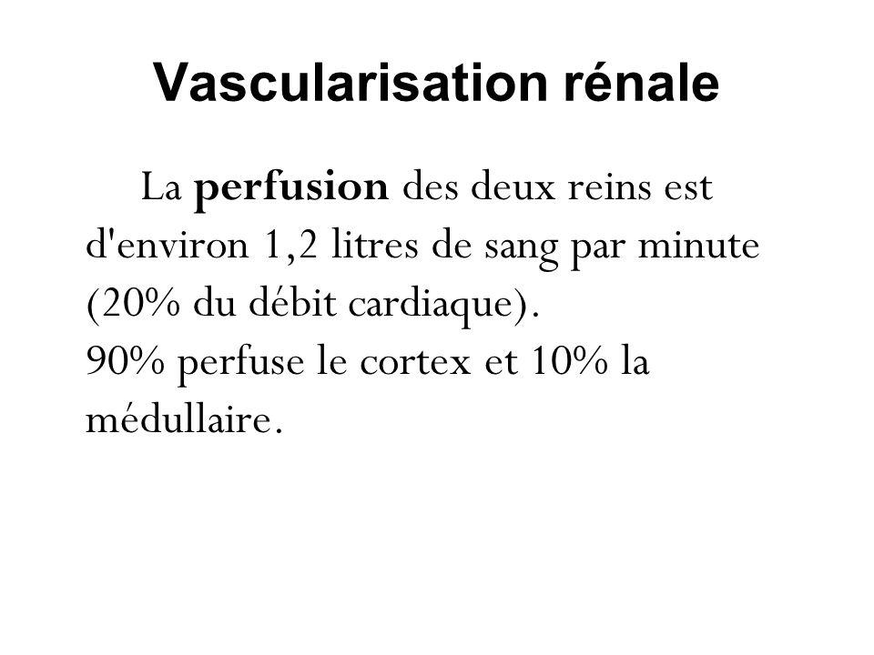 Vascularisation rénale