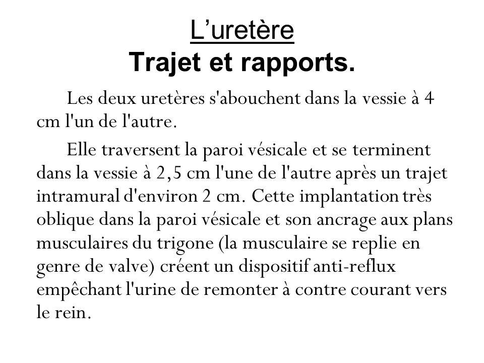 L'uretère Trajet et rapports.