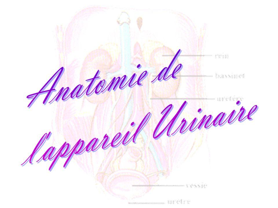 Anatomie de l appareil Urinaire