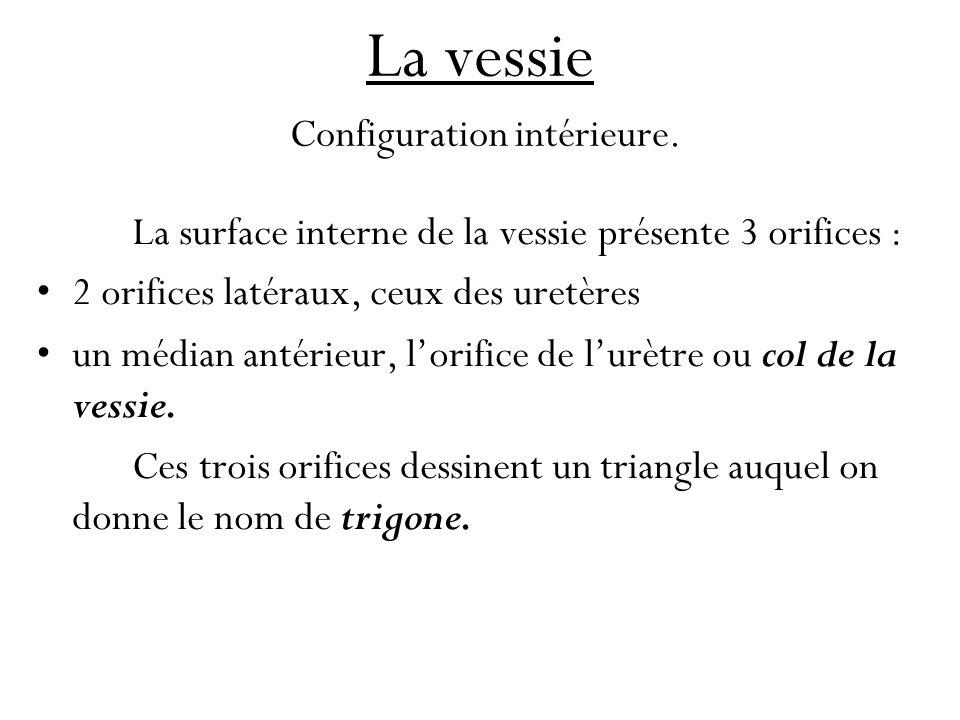 La vessie Configuration intérieure.