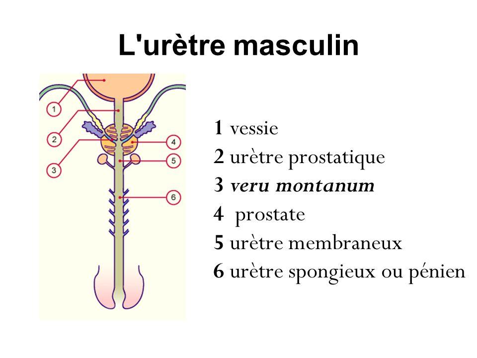 L urètre masculin 1 vessie 2 urètre prostatique 3 veru montanum