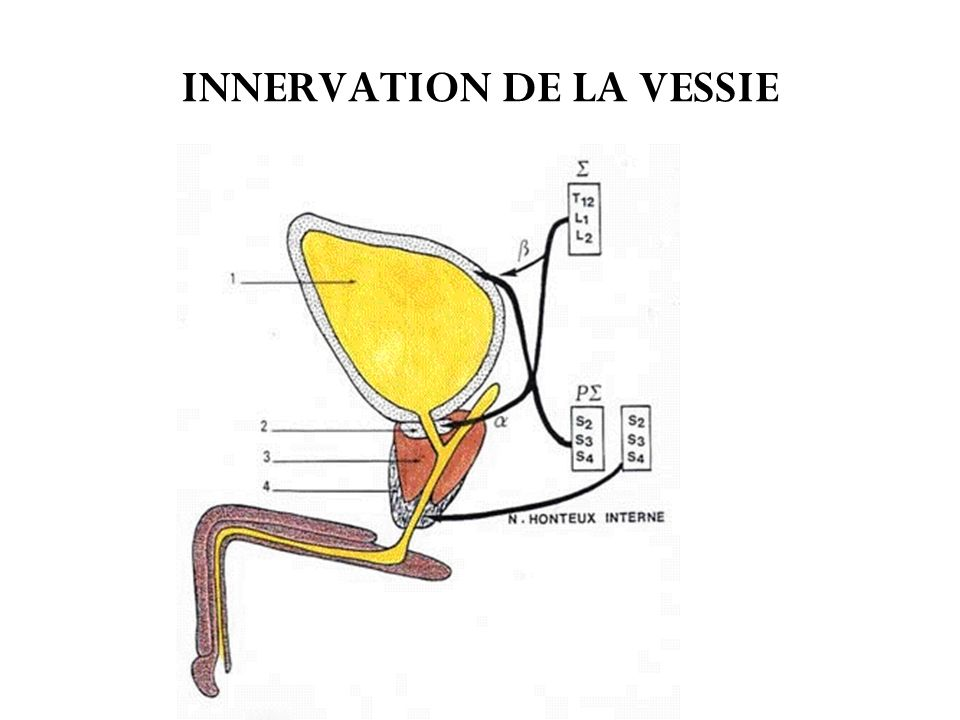 INNERVATION DE LA VESSIE