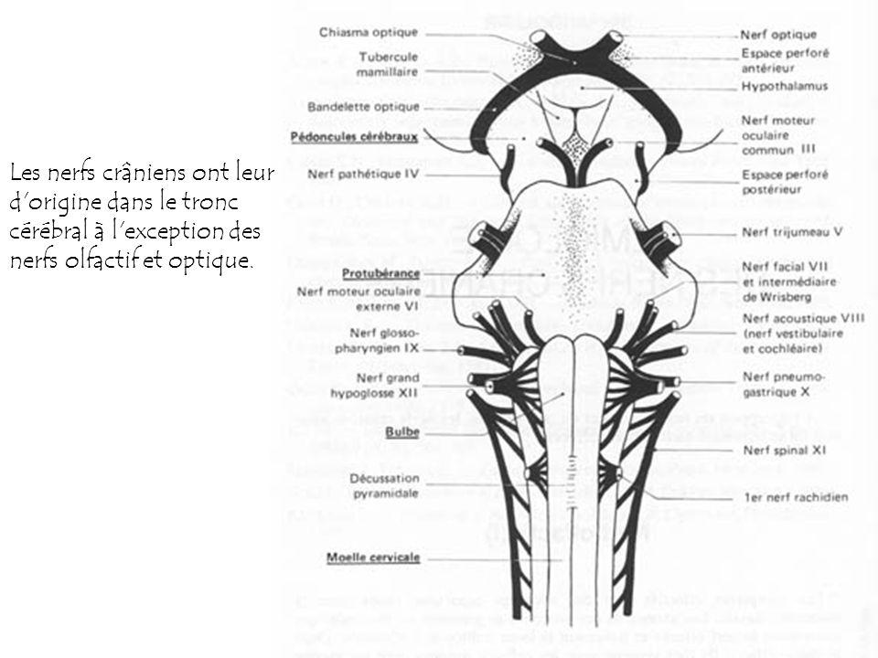 Les nerfs crâniens ont leur d origine dans le tronc cérébral à l exception des nerfs olfactif et optique.