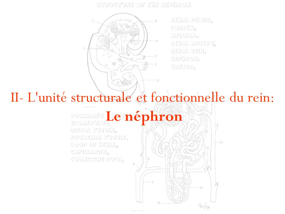 II- L unité structurale et fonctionnelle du rein: Le néphron