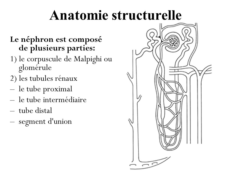 Anatomie structurelle