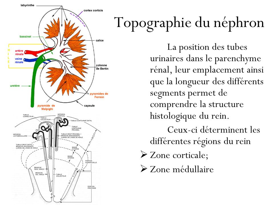 Topographie du néphron