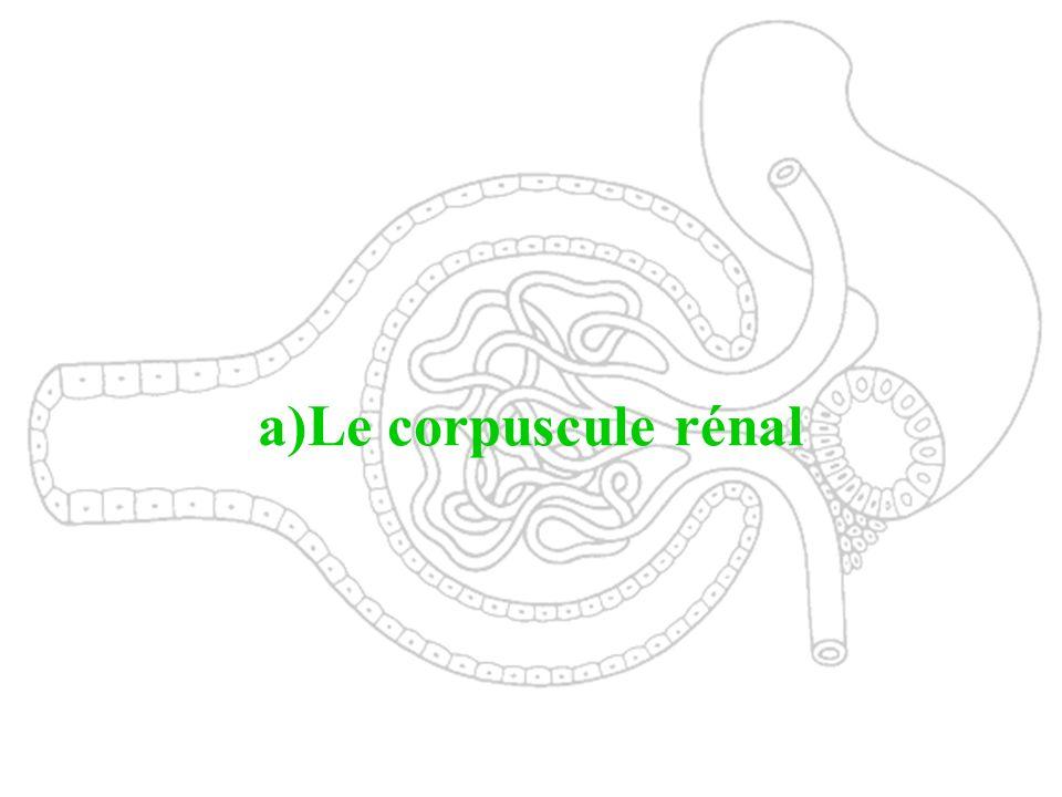 a)Le corpuscule rénal