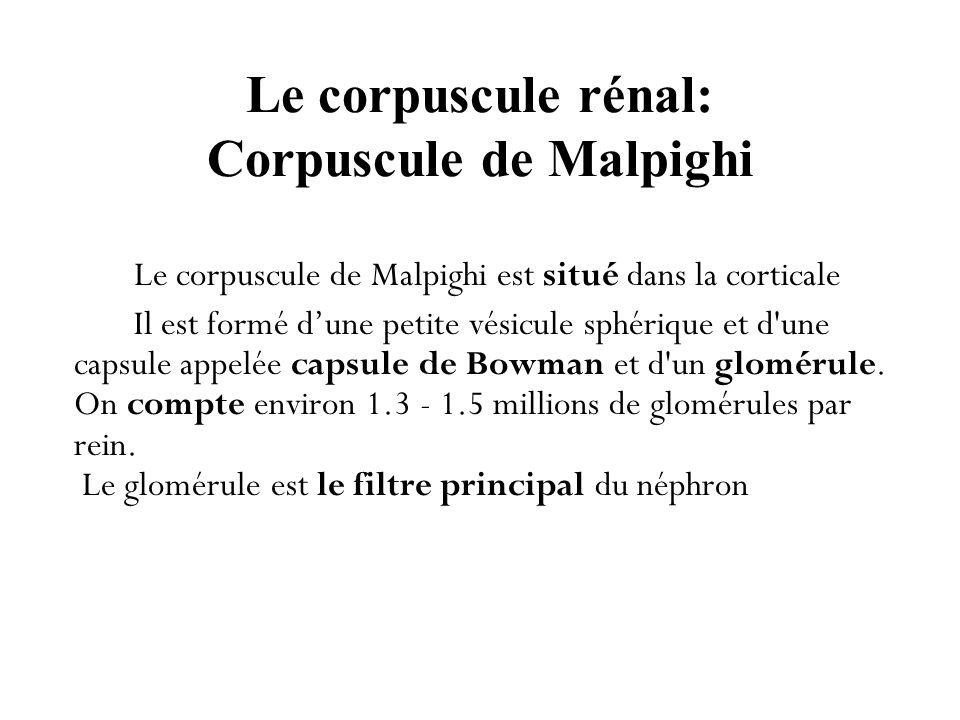 Le corpuscule rénal: Corpuscule de Malpighi