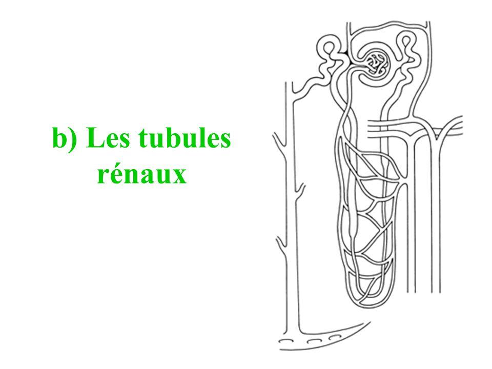 b) Les tubules rénaux