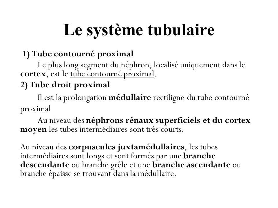 Le système tubulaire 1) Tube contourné proximal