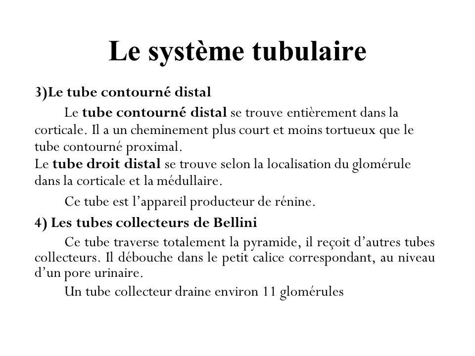 Le système tubulaire 3)Le tube contourné distal