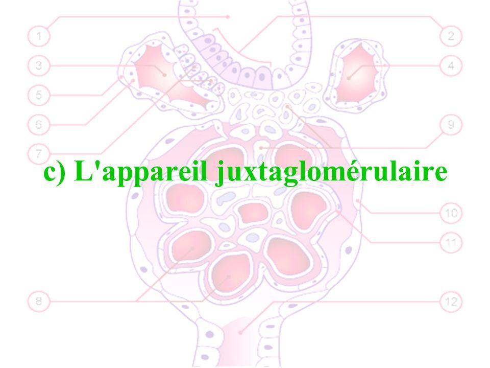 c) L appareil juxtaglomérulaire