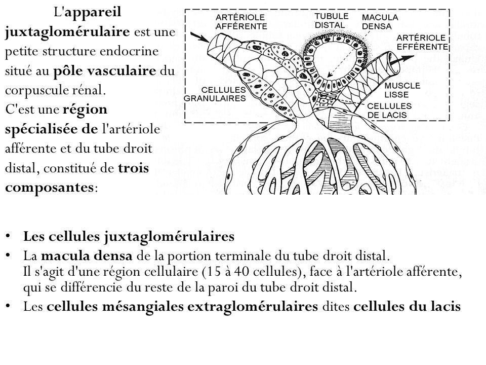 Les cellules juxtaglomérulaires