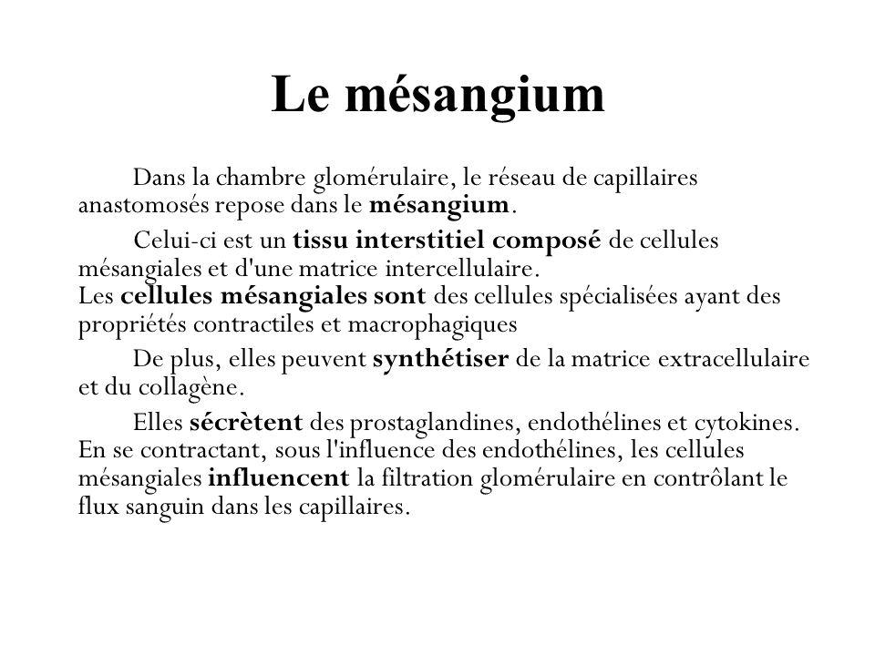 Le mésangium Dans la chambre glomérulaire, le réseau de capillaires anastomosés repose dans le mésangium.