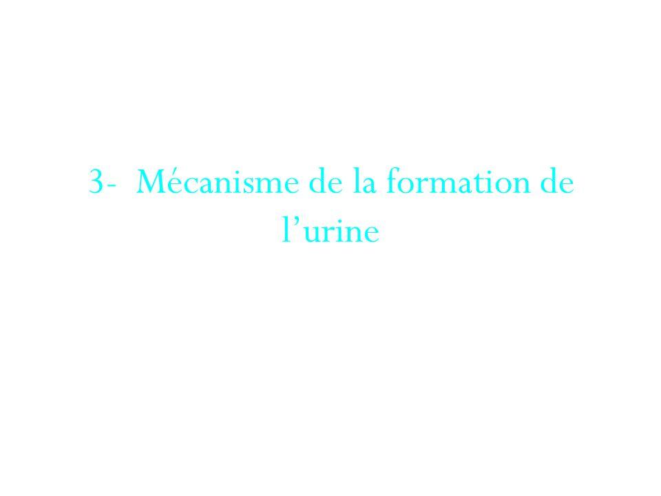 3- Mécanisme de la formation de l'urine