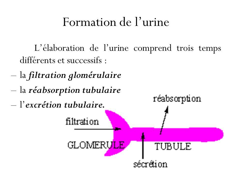 Formation de l'urine L'élaboration de l'urine comprend trois temps différents et successifs : la filtration glomérulaire.