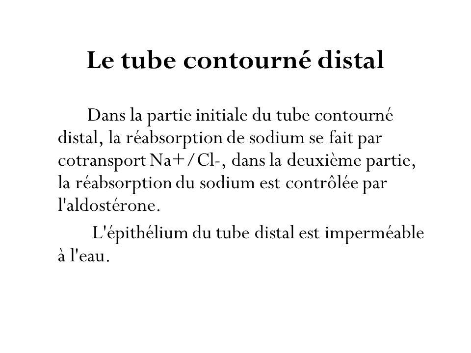 Le tube contourné distal