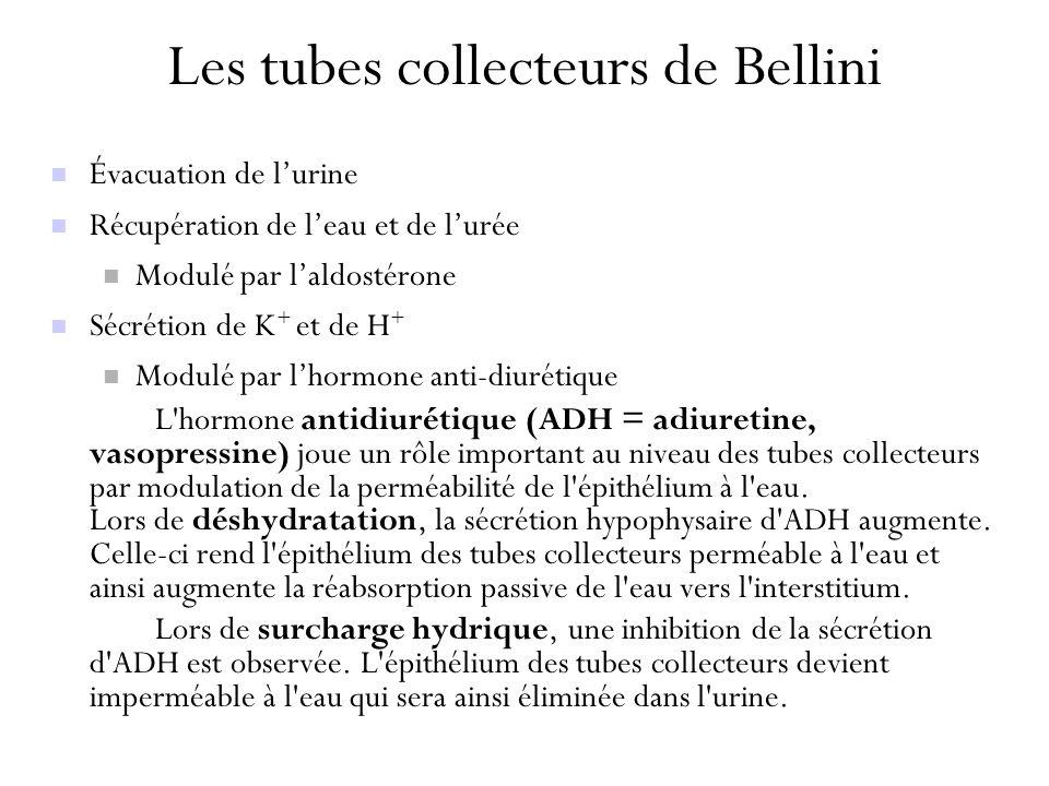 Les tubes collecteurs de Bellini