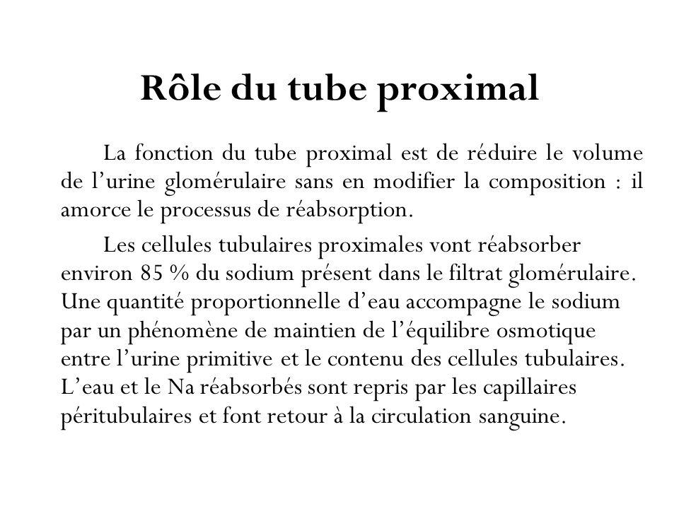 Rôle du tube proximal