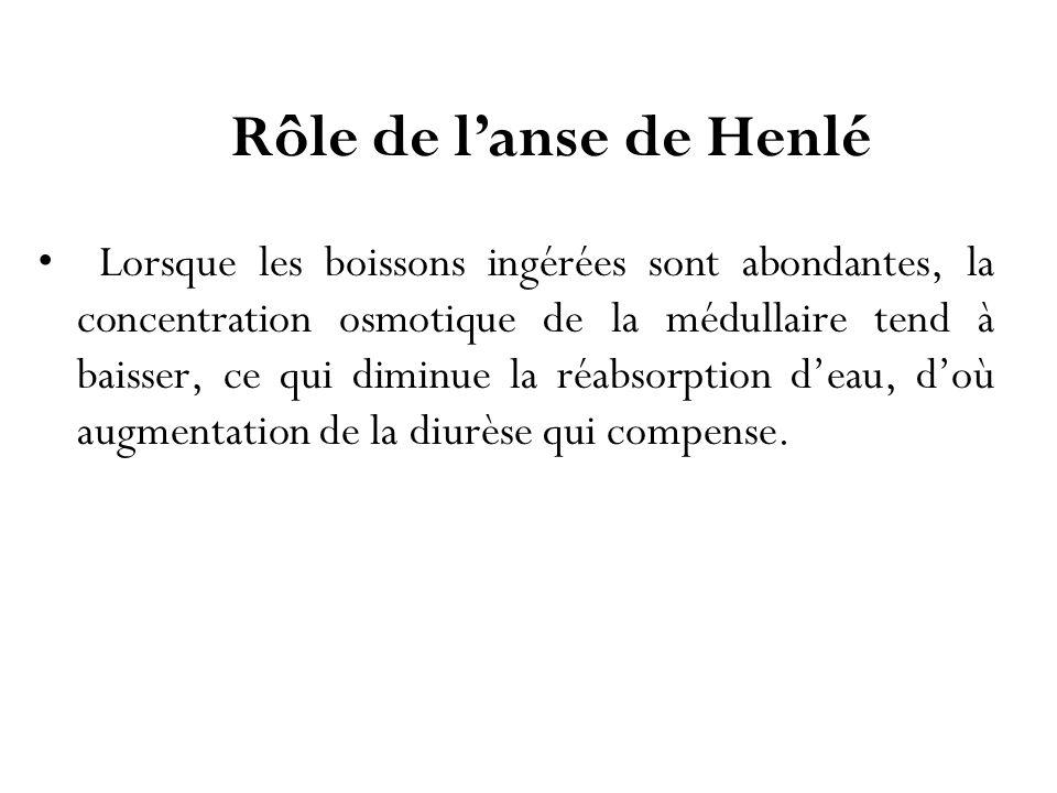Rôle de l'anse de Henlé