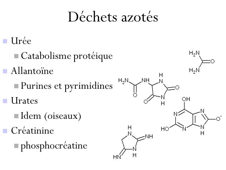 Déchets azotés Urée Catabolisme protéique Allantoïne