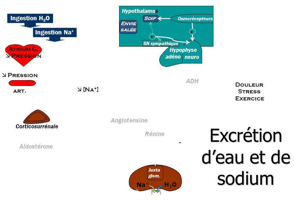 Excrétion d'eau et de sodium