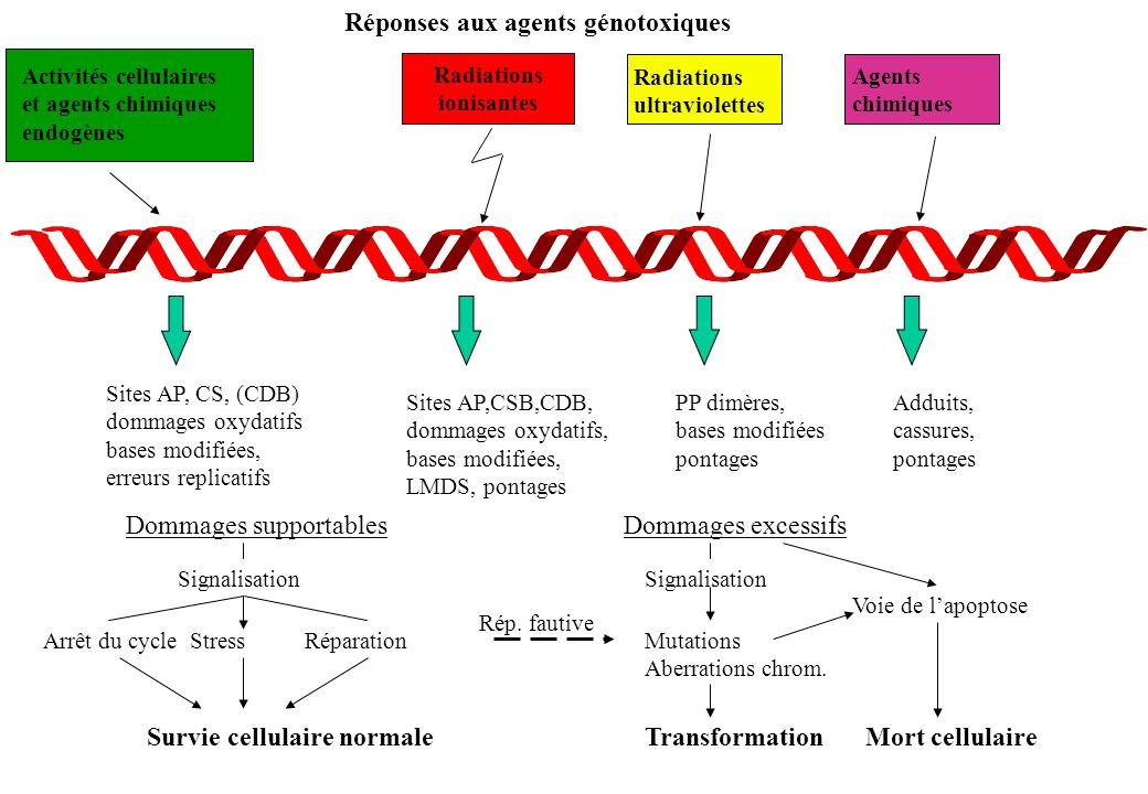 Réponses aux agents génotoxiques