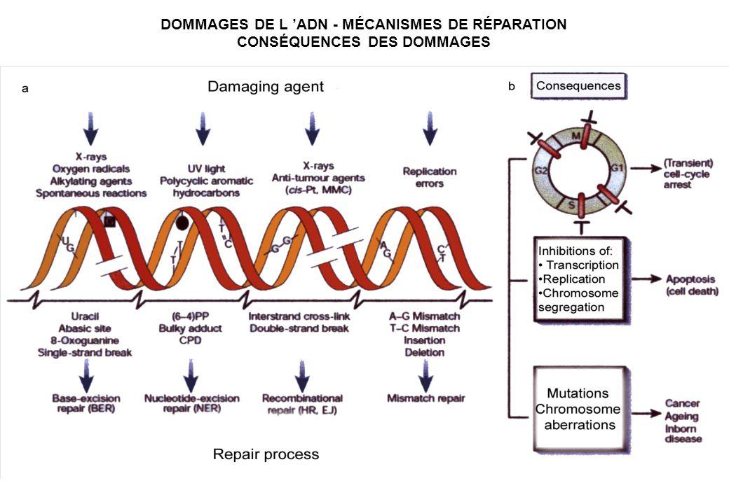 DOMMAGES DE L 'ADN - MÉCANISMES DE RÉPARATION