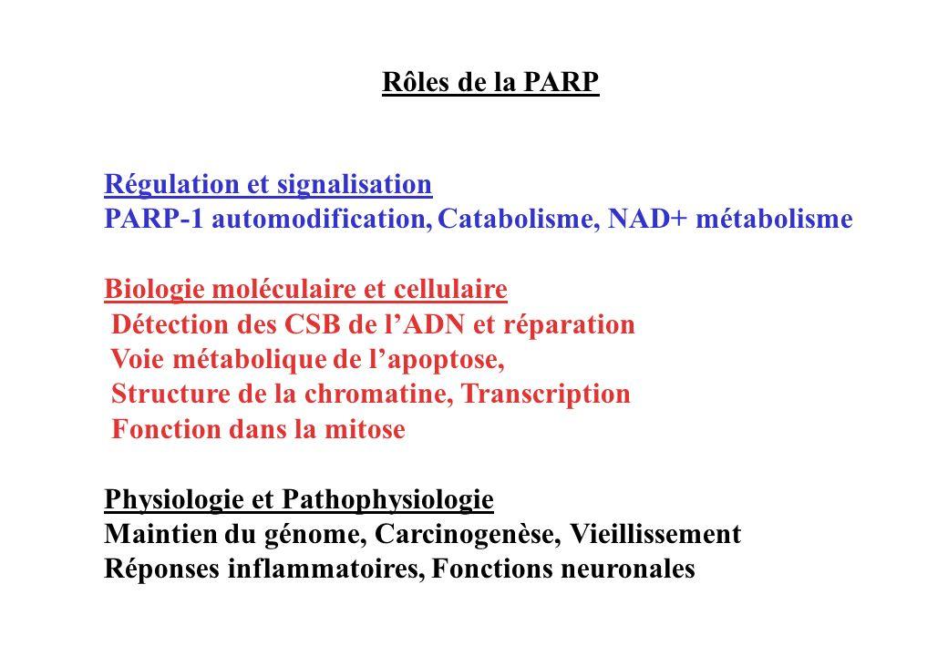 Rôles de la PARPRégulation et signalisation. PARP-1 automodification, Catabolisme, NAD+ métabolisme.