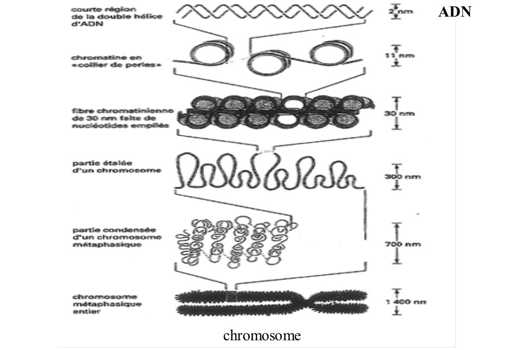 ADN chromosome
