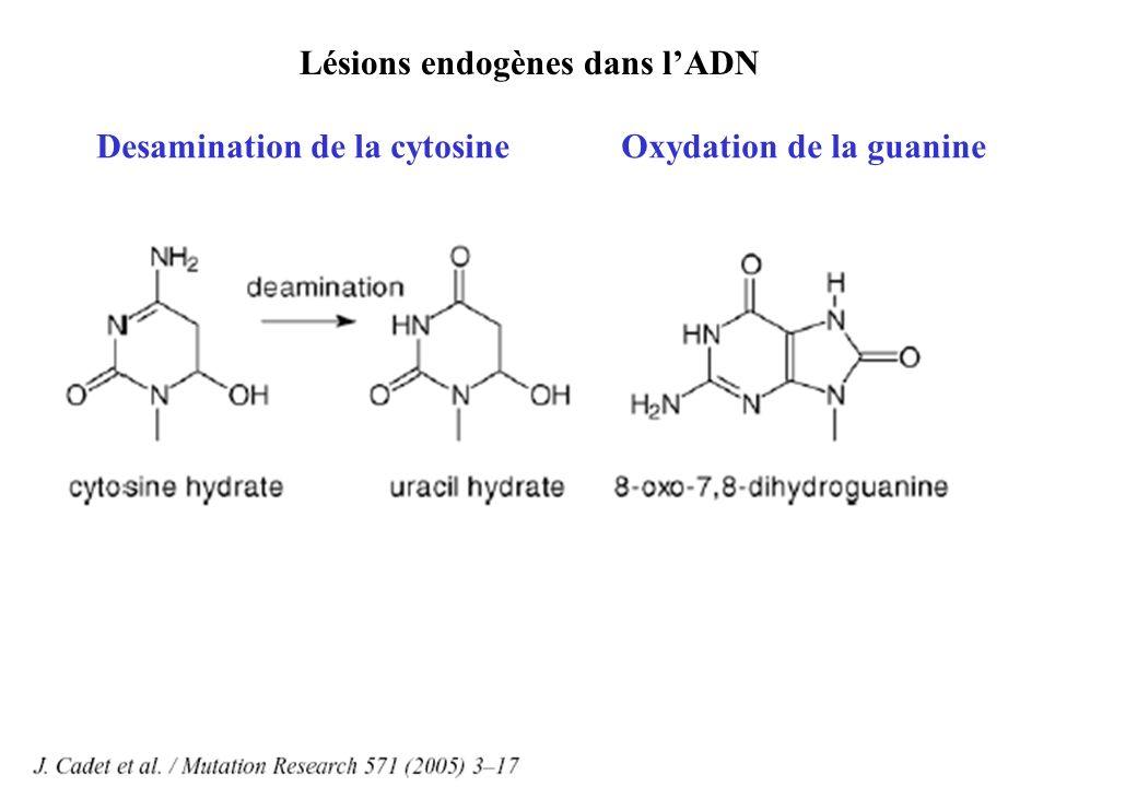 Lésions endogènes dans l'ADN