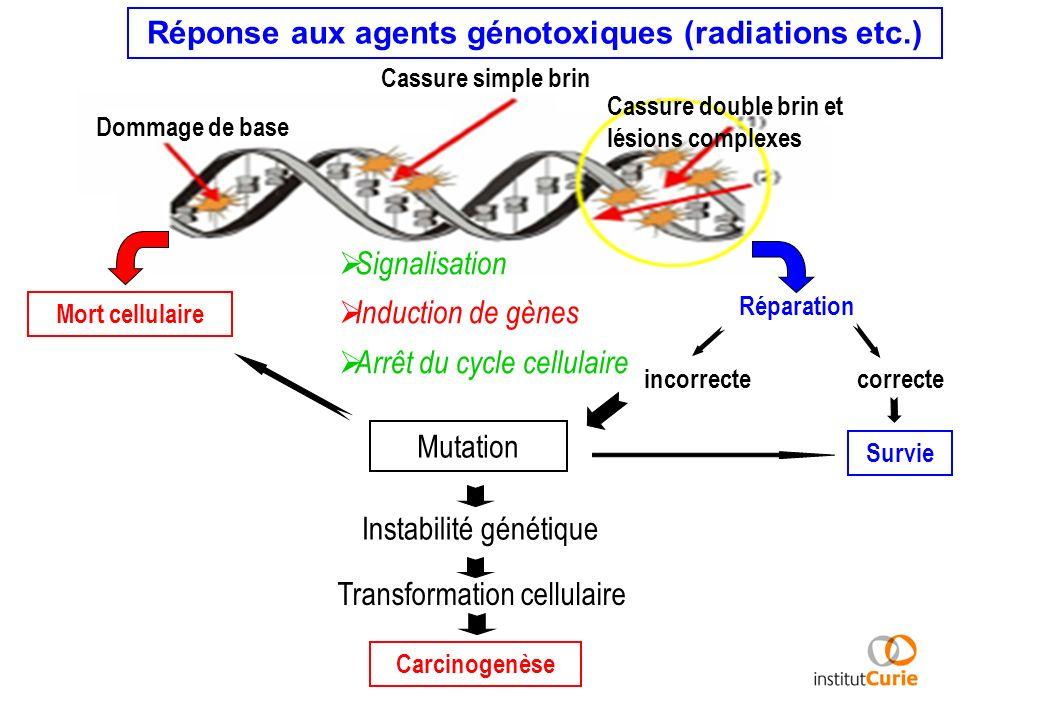 Réponse aux agents génotoxiques (radiations etc.)