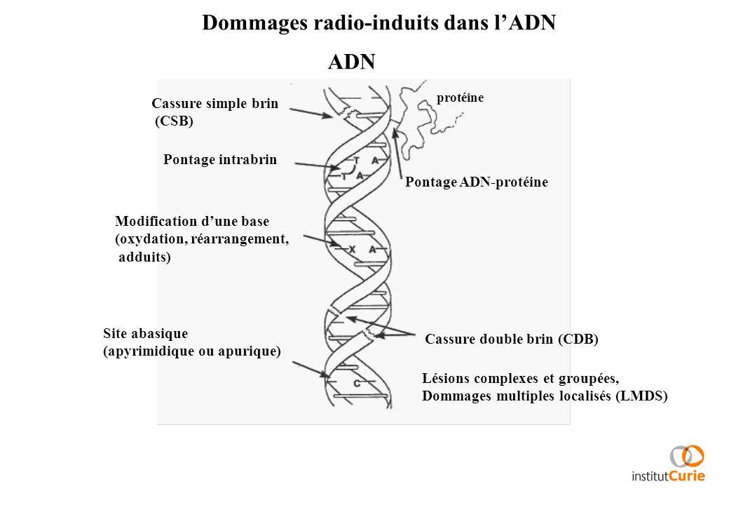 Dommages radio-induits dans l'ADN