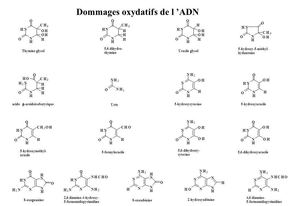 Dommages oxydatifs de l 'ADN