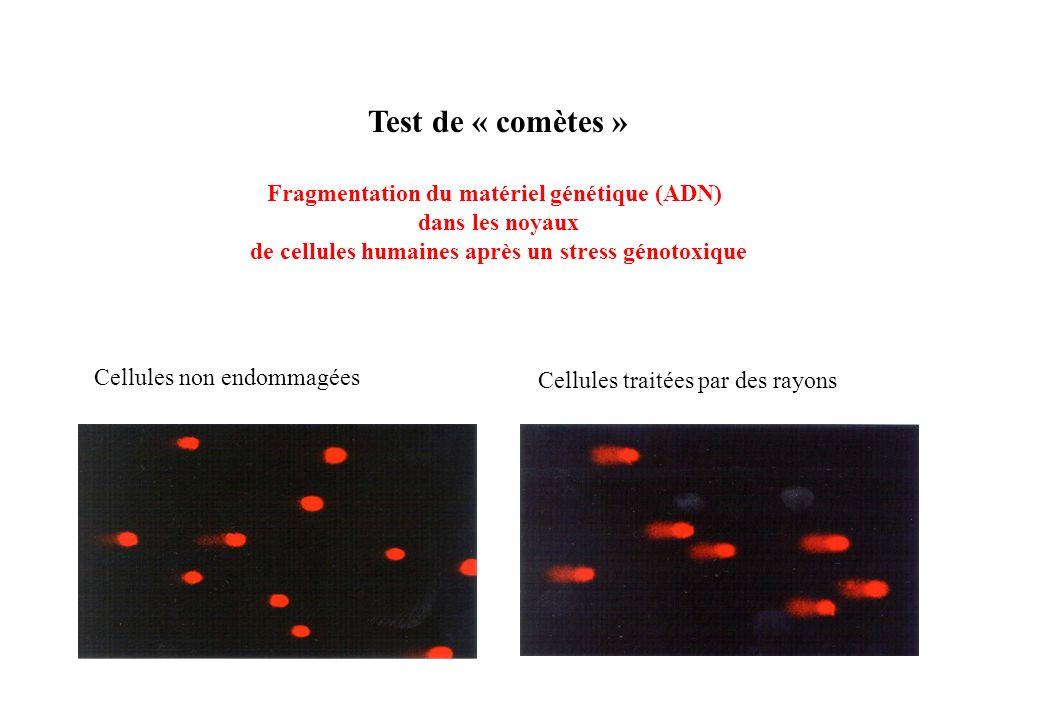 Test de « comètes » Fragmentation du matériel génétique (ADN)