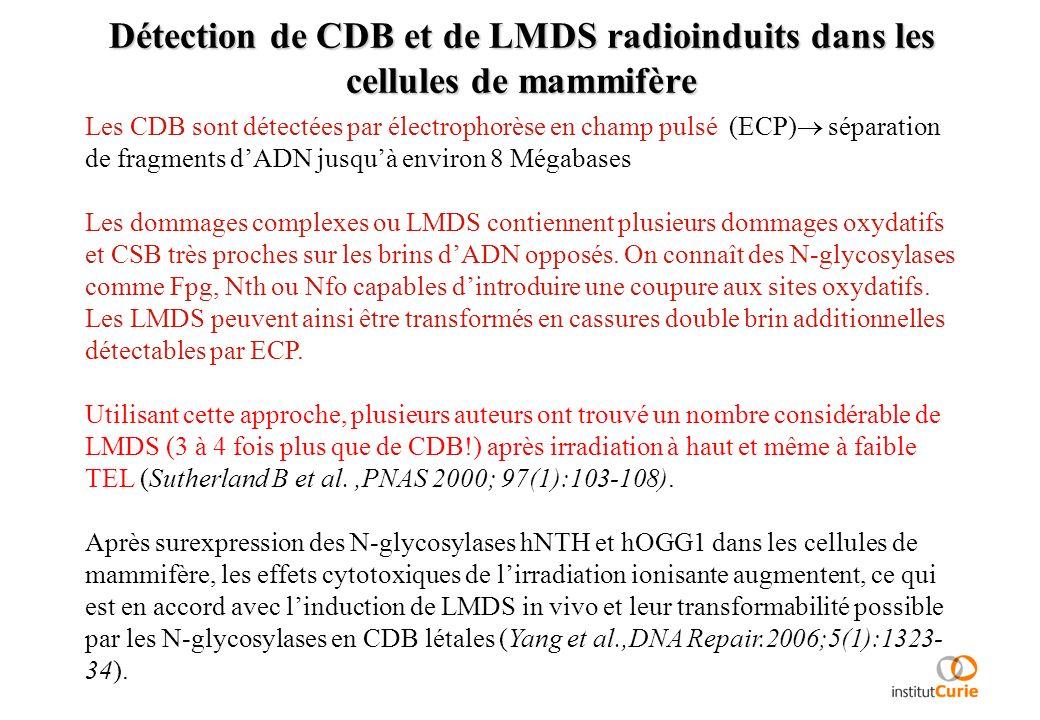 Détection de CDB et de LMDS radioinduits dans les cellules de mammifère