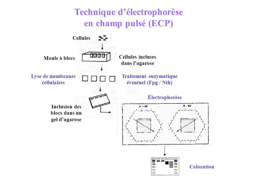 Technique d'électrophorèse en champ pulsé (ECP)
