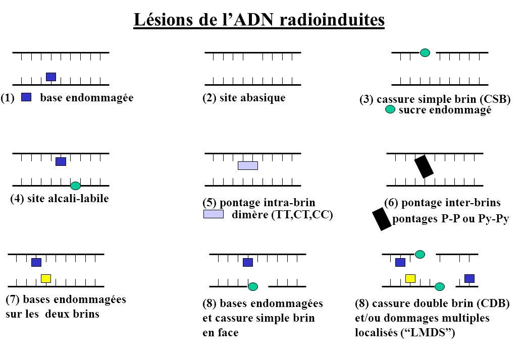 Lésions de l'ADN radioinduites