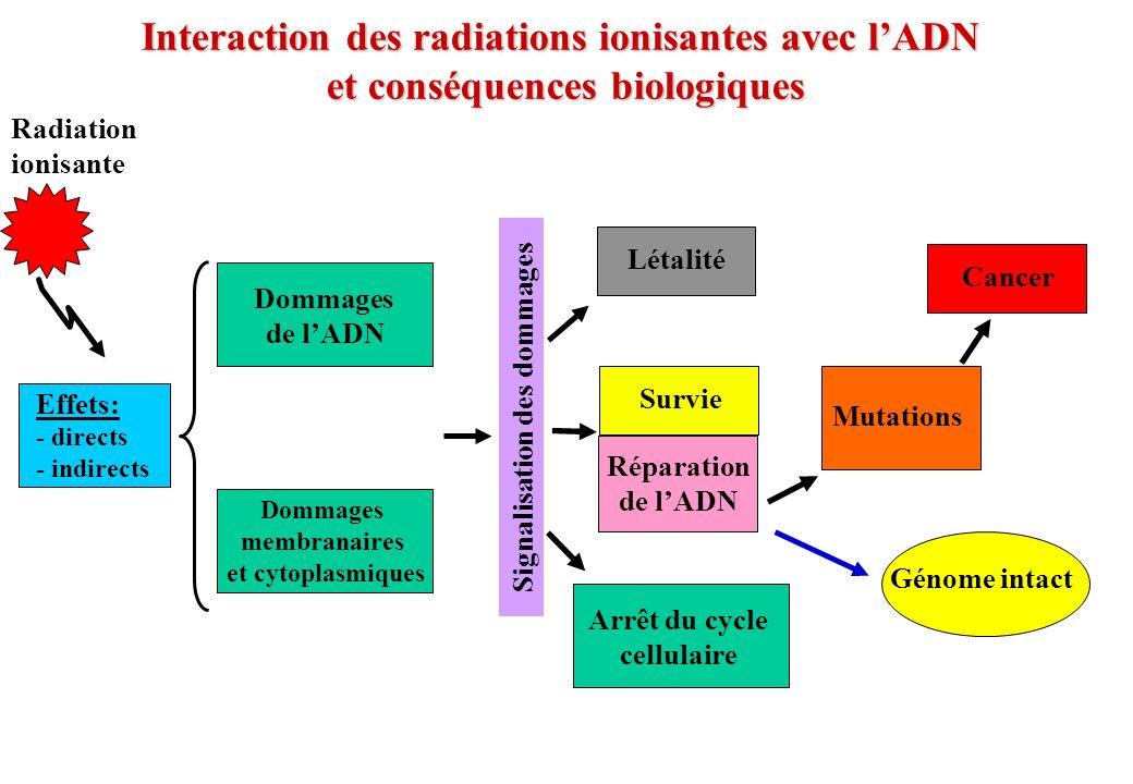 Interaction des radiations ionisantes avec l'ADN