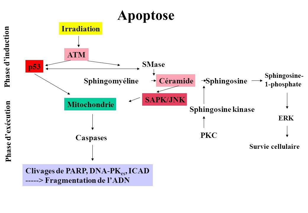 Apoptose Irradiation Phase d'induction ATM SMase p53 Sphingomyéline