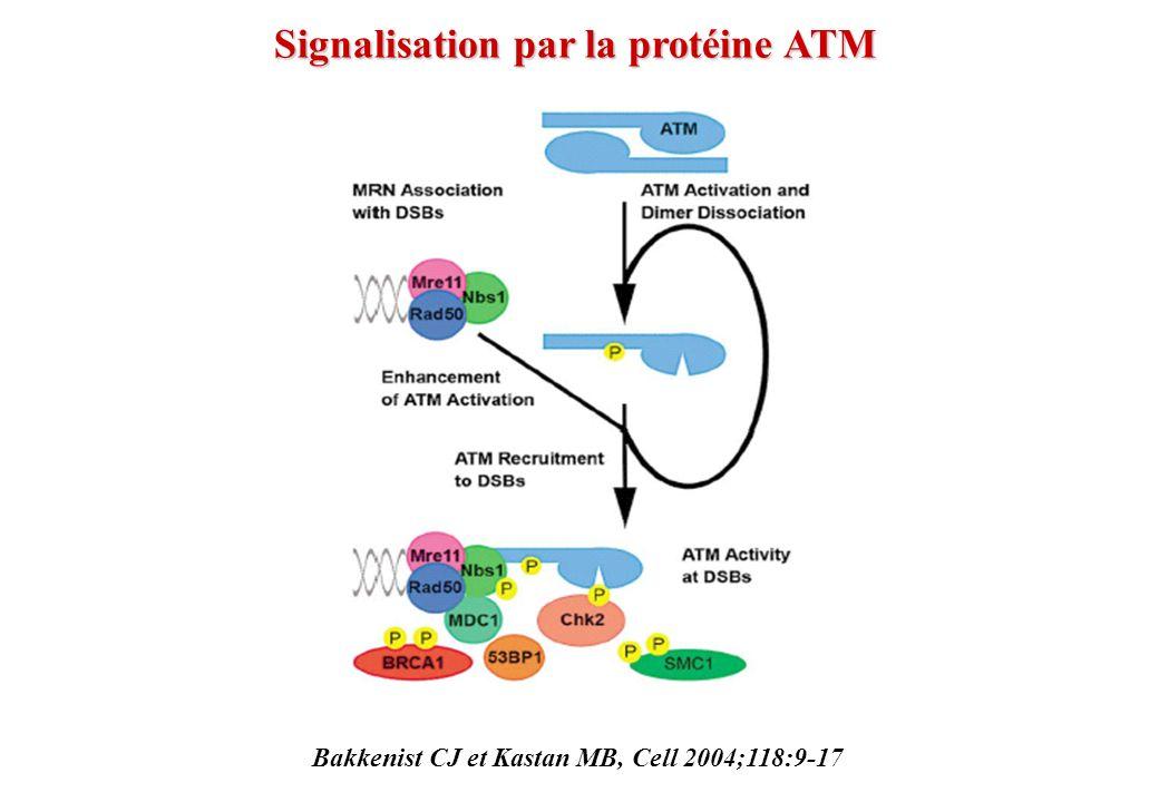 Signalisation par la protéine ATM